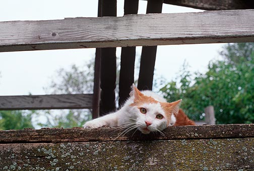 A brown and white bicolor cat on top of an abandoned childrens treehouse with weathered wood.