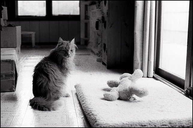 A fat old long haired cat staring at the camera. A toy dog lays on the cat's bed by the patio door windows.