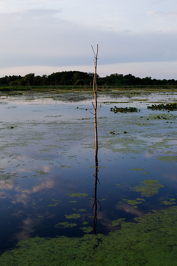 A lone tree stands in the middle of a swamp at a nature preserve wetlands in Steuben County, Indiana.