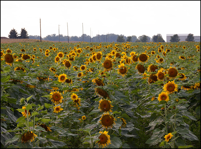 A large field of sunflowers growing on a farm at the intersection of State Road 9 and County Road 900N in rural Huntington County, Indiana. Photographed on a September evening at the end of summer.