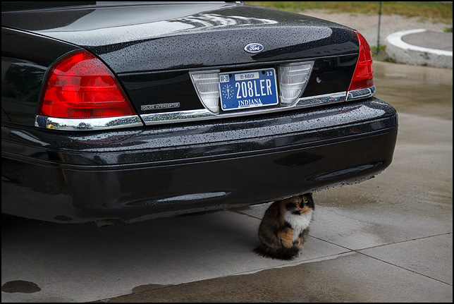 A longhaired calico cat sits under a Ford Crown Victoria Police Interceptor car to avoid the rain.