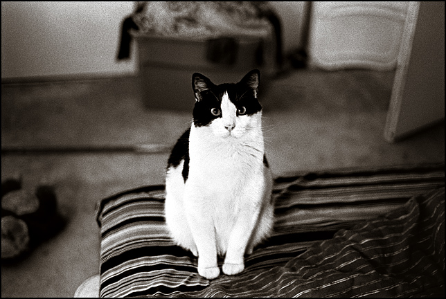 A male black and white bicolor cat sitting on a bed.