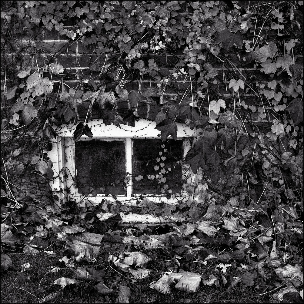 A basement window surrounded by vines of ivy on a brick farmhouse on County Line Road in Whitley County, Indiana.