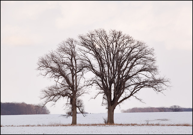 A pair of trees growing together in the middle of a snowy field on a farm in Wells County, Indiana. The tops of the trees form a circle.
