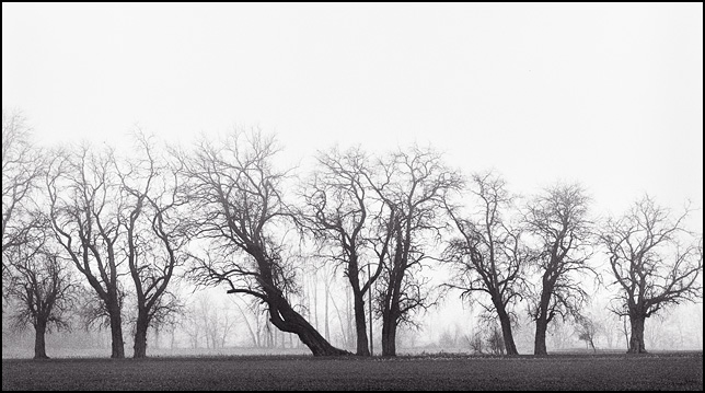 A leaning tree and a row of several other trees on the edge of a foggy farm on Winchester Road in Allen County, Indiana.
