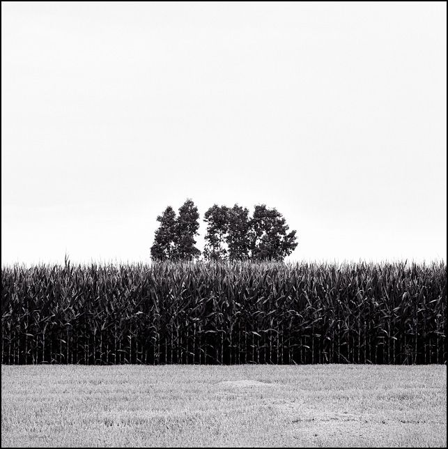 Trees stick up above a cornfield seen from a neighboring wheatfield in rural Allen County, Indiana.