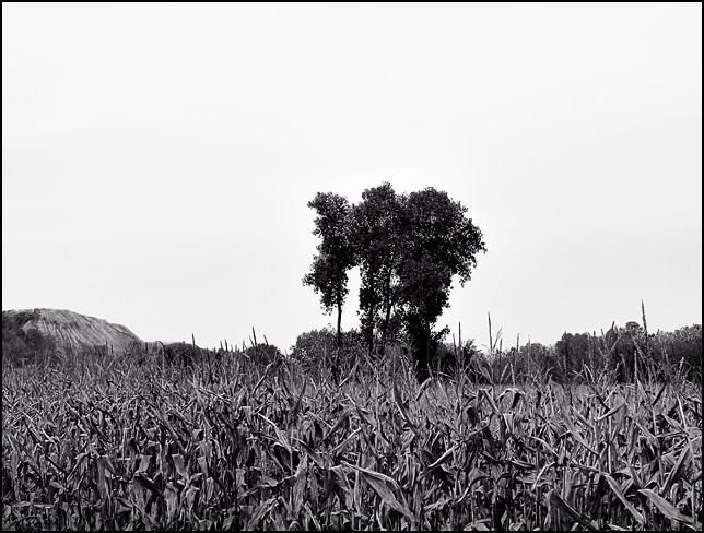 A group of four trees in the middle of a cornfield in rural Allen County, Indiana.