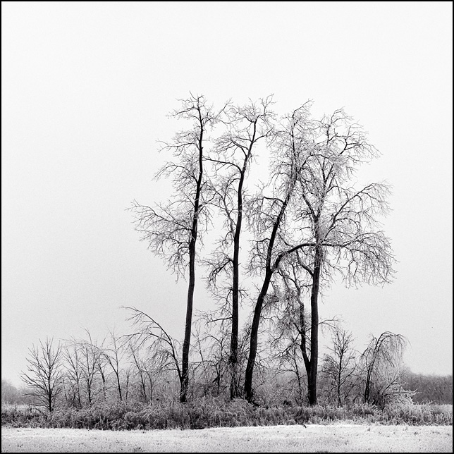 Ice coats the branches of a group of trees in a snowy field after a freezing rain storm in Allen County, Indiana.