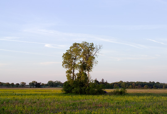 A group of trees in the middle of a colorful field of yellow flowers in rural Allen County, Indiana near the National Serv-All Landfill. Photographed in early evening on a warm summer day.