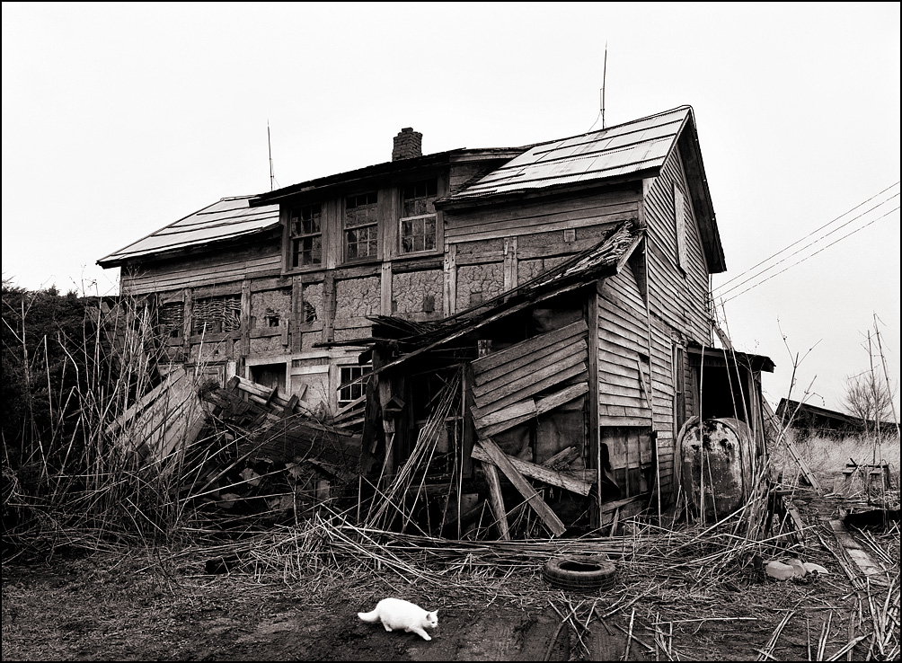A white cat walks past an abandoned farmhouse in rural Allen County, Indiana. The old dwelling is falling down, and is missing most of its weathered wood siding. Wattle and daub insulation is visible where the siding has fallen off the old 19th century house.