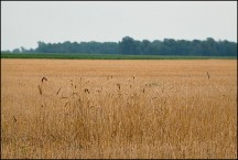 Harvested Wheatfield on Feighner Road