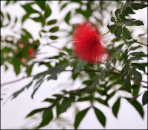 Red Powder Puff Flower