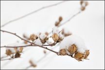 Snow On A Rose Of Sharon Bush #1