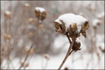 Snow On A Rose Of Sharon Bush #2