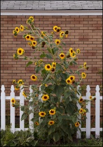 Sunflowers With A Goldfinch