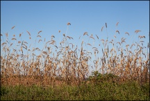 Tall Grass on the Edge of a Field