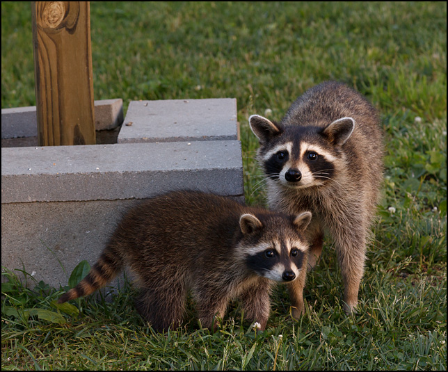 mother raccoon and one of her babies in my parents backyard in the