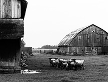 The Sheep Farm